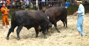 牛オーラセーは沖縄の伝統娯楽☆昔を残す闘牛の醍醐味